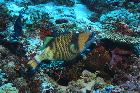 Titan triggerfish (Balistoides viridescens) underwater in the tropical reef of the indian ocean