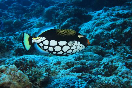 sealive: Clown triggerfish (Balistoides conspicillum) underwater in the coral reef of the indian ocean