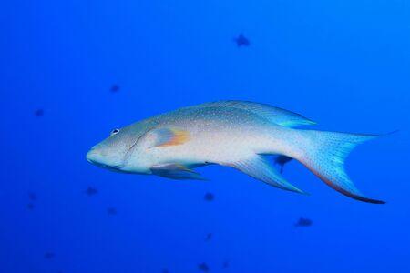 Yellow-edged lyretail grouper fish (Variola louti) underwater in the indian ocean  Reklamní fotografie
