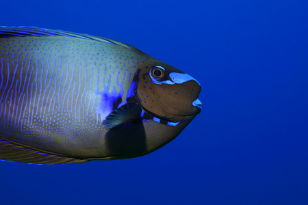 Bignose unicornfish (Naso vlamingii) underwater in the tropical waters of the indian ocean