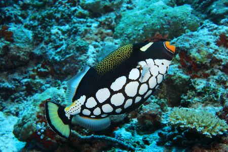 Clown triggerfish (Balistoides conspicillum) underwater in the coral reef of the indian ocean