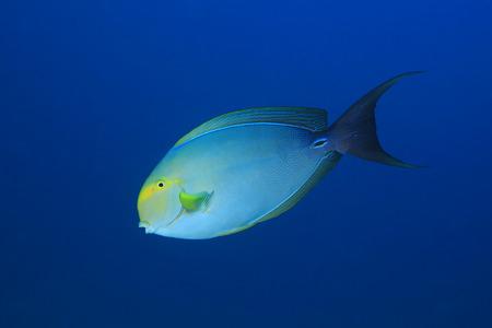 Yellowfin surgeonfish Stock Photo