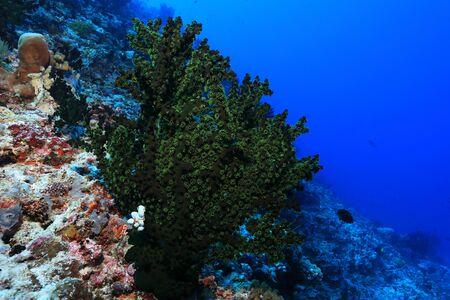 Black sun coral in the sea