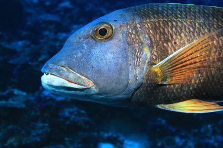 Orange-spotted emperor fish Stock Photo