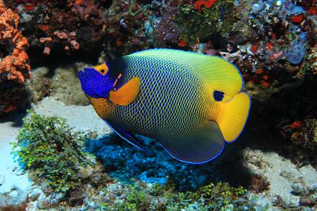 Blueface angelfish close up