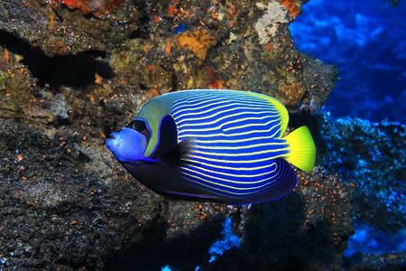 Emperor angelfish in the sea. Imagens