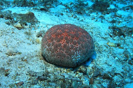 Pin cushion sea star
