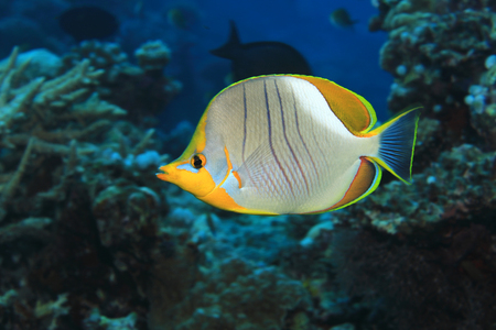 Yellowhead butterflyfish