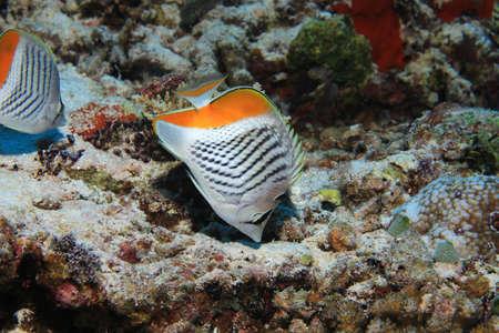 Seychelles butterflyfish