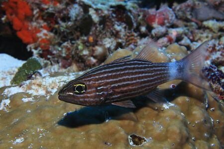 Large toothed cardinalfish