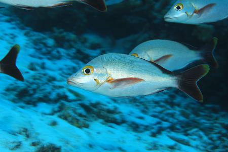Humpback red snapper fish