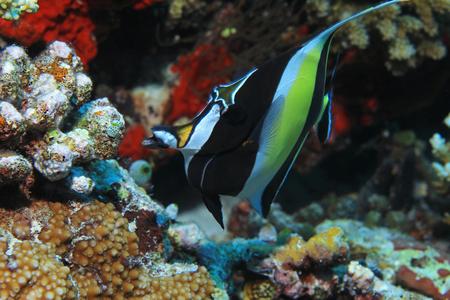 Moorish idol fish Stock Photo - 94425869