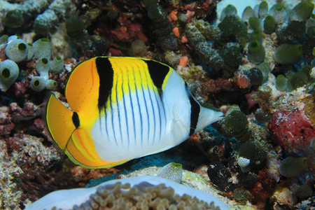 Blackwedged butterflyfish Stock Photo
