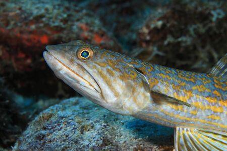 Sand diver lizardfish
