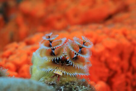 Beautiful Christmas tree worm (Spirobranchus giganteus) underwater in the caribbean sea