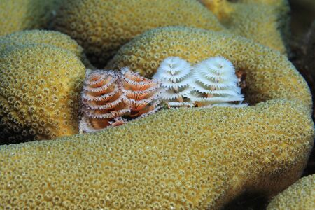 Beautiful Christmas tree worms (Spirobranchus giganteus) underwater in the caribbean sea  Banque d'images