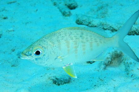 Yellow fin mojarra fish (Gerres cinereus) underwater in shallow waters of the caribbean sea of Bonaire