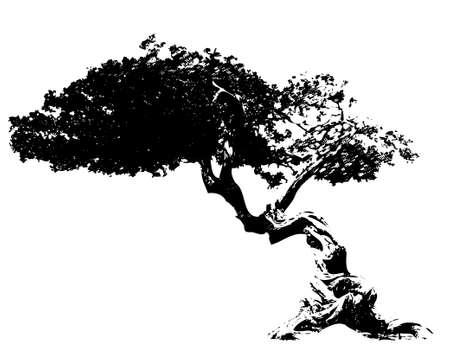 acacia tree: Illustration tree Illustration
