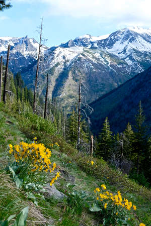 snow capped mountains: Snow Capped Mountains, Alpine Meadows, Yellow Flowers.  Near Seattle, Washington, USA.