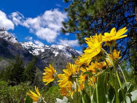 Yellow Flowers, Mountains, Blue Sky and Clouds near Seattle, Washington, USA. 免版税图像