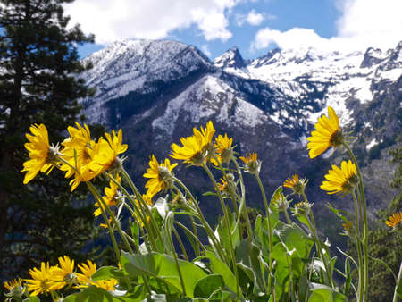 Yellow spring Flowers in Mounains. 免版税图像