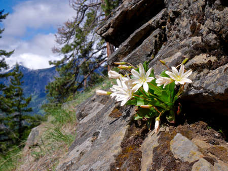 White Lewisia Blooming in Mountains near Seattle, Washington, USA.