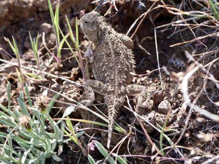 desert lizard: Small Lizard in Grassland. Washington State, USA.