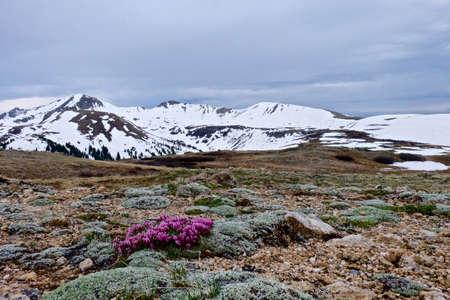 trifolium: Alpine Deer Clover and Snow Capped Mountains. Dwarf Clover or  Trifolium nanum in High alpine tundra at Independence Pass near Aspen, Colorado, USA.
