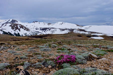 trifolium: Alpine Deer Clover and Snow Capped Mountains. Dwarf Clover or  Trifolium nanum in High alpine tundra at Independence Pass near Aspen, Coloralo State, USA. Stock Photo