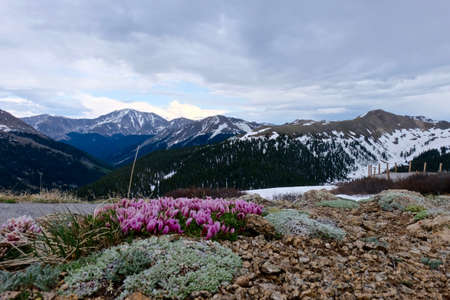 alpine tundra: Alpine Deer Clover and Snow Capped Mountains. Dwarf Clover or  Trifolium nanum in alpine tundra at Independence Pass near Aspen, Colorado State, USA.