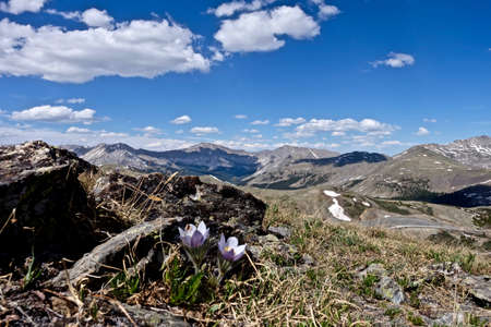 fiori di campo: Fiori di primavera nelle montagne rocciose. Pasque Flower o Pulsatilla trovati su Cottonwood Pass vicino a Buena Vista e Denver, Colorado, Stati Uniti d'America. Archivio Fotografico