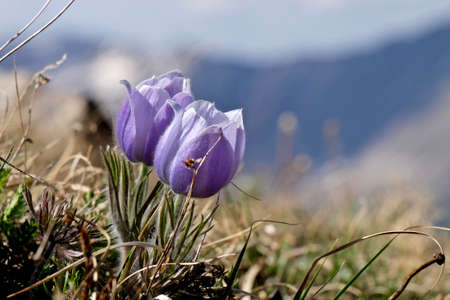 rocky mountains colorado: Blue flowers of Pasque Flower or Pulsatilla found on Cottonwood Pass near Buena Vista and Denver  in Rocky Mountains, Colorado, USA.