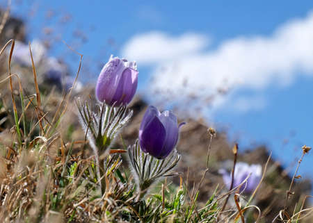 pasque: Blue sping flowers. Pasque Flower or Pulsatilla found on Cottonwood Pass near Buena Vista and Denver  in Rocky Mountains, Colorado, USA. Stock Photo