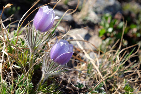 rocky mountains colorado: Pasque flower or Pulsatilla at Cottonwood Pass near Buena Vista and Denver in Rocky Mountains, Colorado, USA. Stock Photo