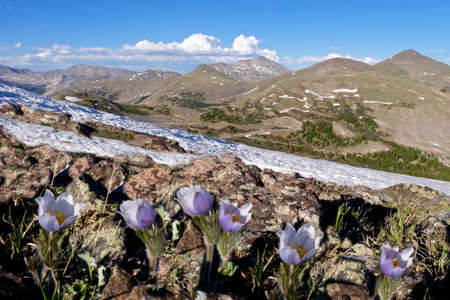 Pasque Flower or Pulsatilla found on Cottonwood Pass near Buena Vista and Denver, Colorado, USA.