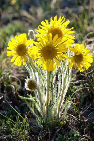 Alpine Sunflower or Yellow Daisy at Cottonwood pass in Rocky Mountains near Denver and Buena Vista, Colorado, USA.