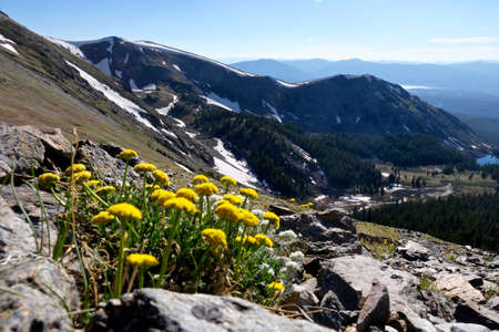 Alpine yellow flowers at Cottonwood Pass in Rocky Mountains  near Buena Vista and Aspen, Colorado, USA .