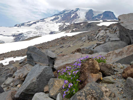 muir: Alpine phlox flowers on rocks at Camp Muir, Mount Rainier National park, Seattle,  Washington, USA.