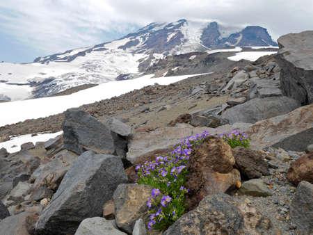 Alpine phlox flowers on rocks at Camp Muir, Mount Rainier National park, Seattle,  Washington, USA.