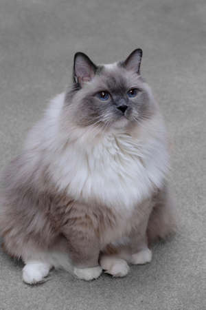 ragdoll: Ragdoll blue mitted cat with blue eyes sitting indoor. Stock Photo