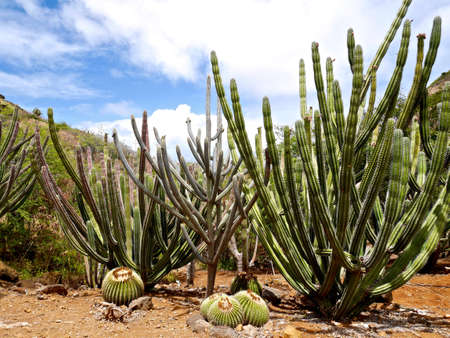 Cactuses In Koko Crater Botanical Garden, Big Island, Honolulu, Hawaii.  Stock Photo