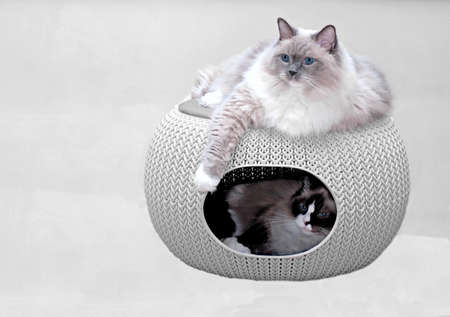 Two purebred ragdoll cats in cozy pet home. 版權商用圖片