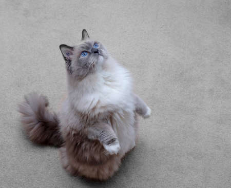 Cat standing. Purebred ragdoll cat blue mitted.