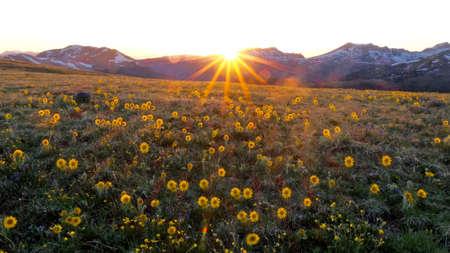 Backlit alpine flowers at Independence pass near Aspen and Denver in Rocky Mountains, Colorado, USA. Фото со стока - 62392740