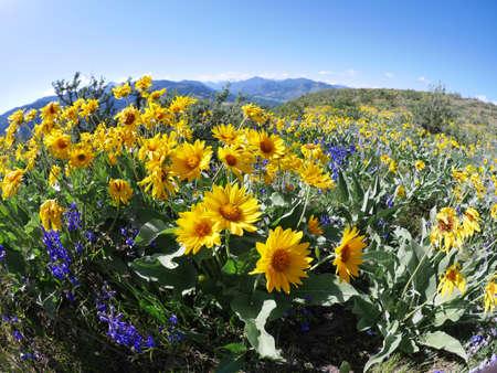 poblíž: Žluté květy arnica na hory Patterson v severním kaskádovém národním parku u Winthrop, Washington, USA.
