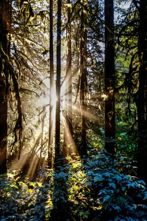 miracle tree: Sunbeams through trees. Cascade Mountains in Washington state near Seattle. USA.
