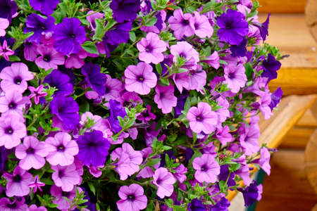 Abundant Petunia flowers in bloom. Little garden at the porch of vacation cabin in Alberta. Canada. 스톡 콘텐츠