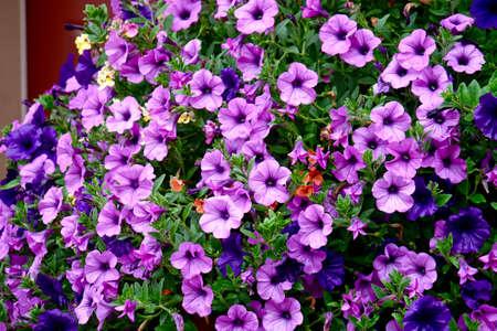 Abundant Morning Glory flowers in full bloom.