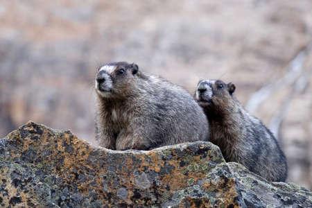hoary: Hoary Marmots. Jasper National Park. Canadian Rocky Mountains. Alberta. Canada. Stock Photo
