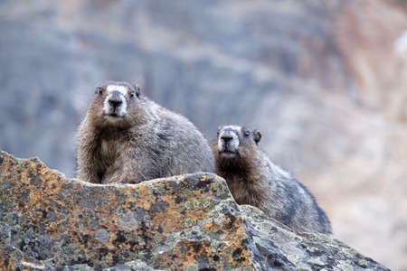 Couple of Hoary Marmots. Jasper National Park. Candian Rocky Mountains. Alberta. Canada.